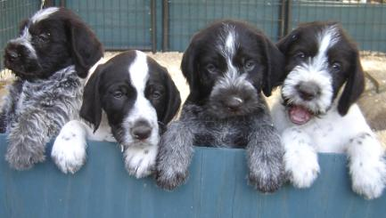 vom Hessenjaeger german wirehaired pointers