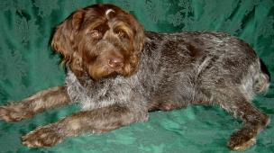 Hexe vom Hessenjaeger German wirehaired pointer
