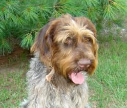 Herr Neptun vom Hessenjaeger German wirehaired pointer stud
