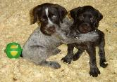 two hessenjaeger GWP pups